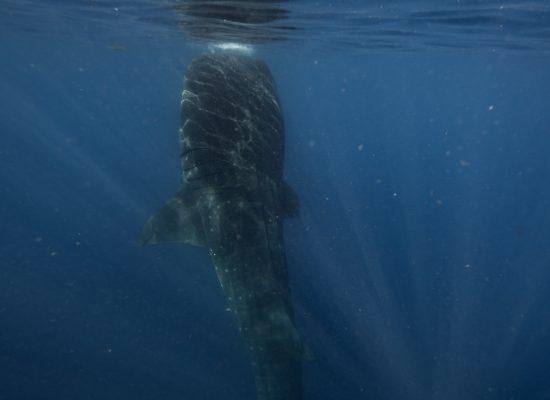 Whale Sharks-35