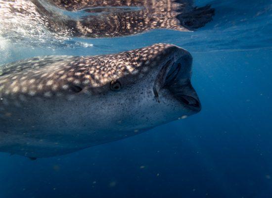 Whale Sharks-57